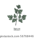 Parsley hand drawing 56768446