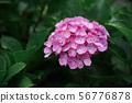 Hydrangea flower blooming in a garden (Japan) 56776878