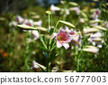 Pink lilly in the garden, Madonna Lilly flower. 56777003