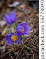 Pulsatilla patens or Eastern pasqueflower 56778049