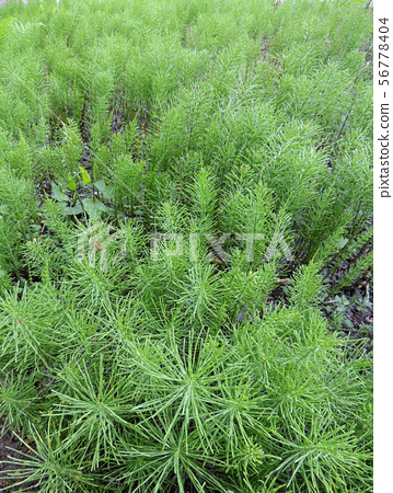 Horsetail, Equisetum arvense, in the garden 56778404