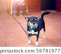 The black dog stands and looks forward 56781977