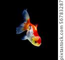 goldfish isolated on a dark black background 56783287