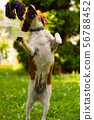 Brittany dog puppy playing outside tug of war. 56788452