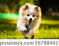Pomeranian dog german spitz klein running towards 56788462