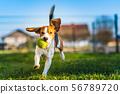 Beagle dog runs in garden towards the camera with 56789720