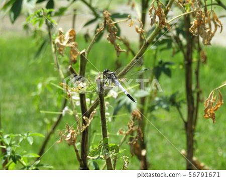 栖息在醉蝶花一个死的分支的Cicara蜻蜓 56791671