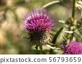Purple flower of thistle - Monte Baldo Italy 56793659
