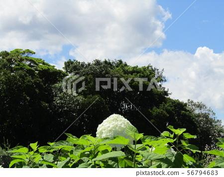 八仙花属Annabelle白色八仙花属花和蓝天和白色云彩 56794683