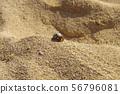 소라게 모래 사장을 산책 리조트 비치 56796081