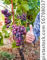 Caucasian Farmer at work in the vineyard. 56798037