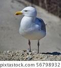 european herring gull on heligoland 56798932