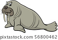 walrus wild animal character cartoon illustration 56800462