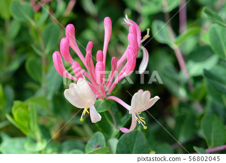 Honeysuckle (Lonicera caprifolium) growing in the 56802045
