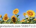Sunflower 3321 56807113
