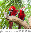 couple macaw 56811510