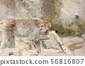 在上野動物園的日本短尾猿在東京 56816807