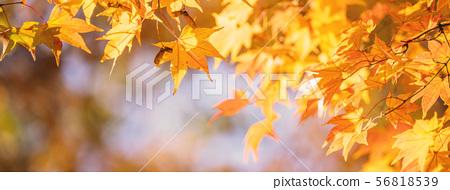 日本美麗楓葉旅行背景楓葉楓葉楓葉秋葉楓樹 56818539
