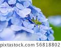 繡球花的蚱蜢 56818802