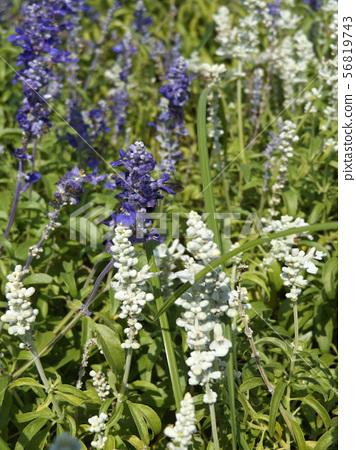 Salvia Farinacea蓝色和白色花 56819743