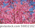 Birds are on the branches of the cherry tree 56832162