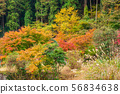 Autumnal leaves and Susuki 56834638