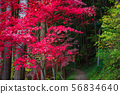 Red maple ② 56834640