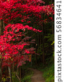 Red maple ③ 56834641
