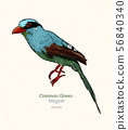 The common green magpie (Cissa chinensis) is a 56840340