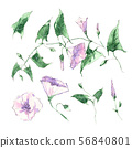 Watercolor hand illustration, twig flowers and leaves of bindweed. 56840801