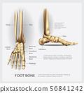 Foot Bone Vector Illustration 56841242