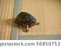 密西西比乌龟室散步 56850753