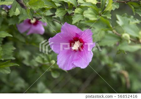 나라꽃 무궁화 56852416