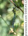 Southern hawker, or Aeshna cyanea dragonfly 56854512