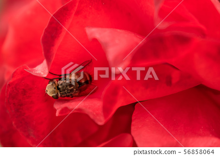 Macro hoverfly in the petals of a red rose. flower 56858064
