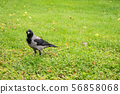 Hooded Crow, Corvus cornix on a background of 56858068