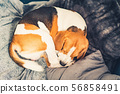 Sleeping beagle dog on the sofa in living room curled 56858491