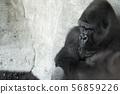 Male gorilla in sitting position 56859226