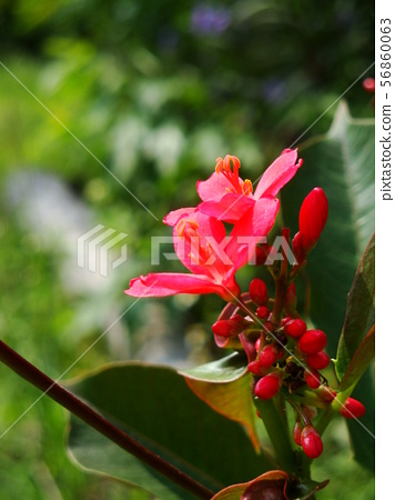 Red Ixora with yellow pollen 56860063