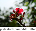 Red Ixora with yellow pollen 56860067