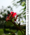 Red Ixora with yellow pollen 56860068