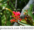 Red Ixora with yellow pollen 56860069