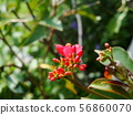 Red Ixora with yellow pollen 56860070