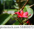 Red Ixora with yellow pollen 56860073