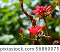 Red Ixora with yellow pollen 56860075
