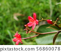 Red Ixora with yellow pollen 56860078