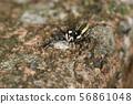생물 거미 암컷 지로 하에토리 수컷입니다. 여성 별종 보이는 날씬한 똑똑한 몸. 모양도 완전히 다릅니다 56861048