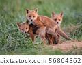 Red Fox Kit  56864862