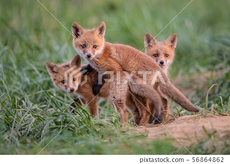 Red Fox Kit  56864862