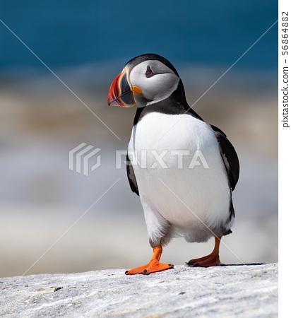 Atlantic Puffin 56864882